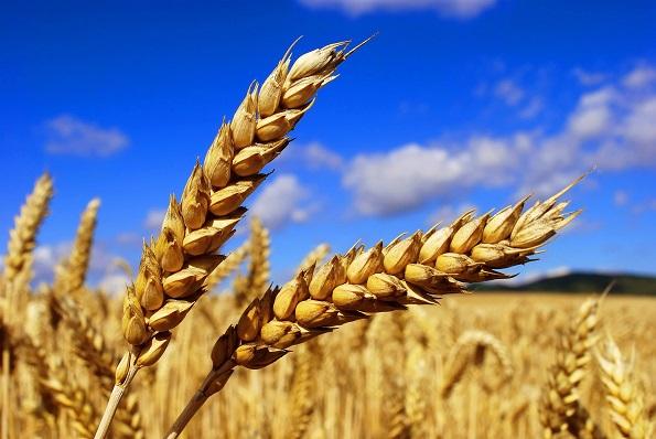 Ставропольские аграрии собрали около пяти миллионов тонн зерна