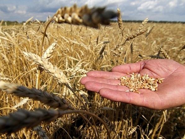 Ставрополье собрало первый миллион тонн урожая зерновых