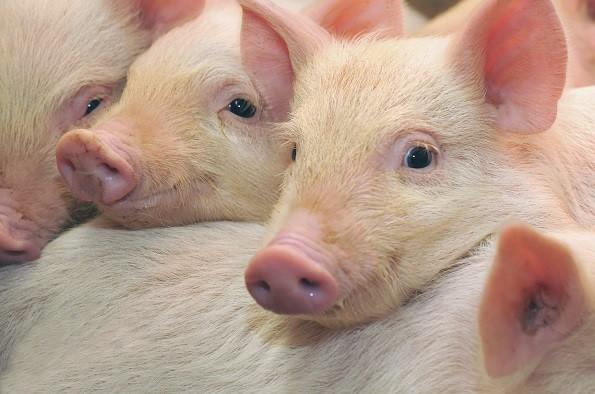 Ставропольская свиноферма увеличит поставки мяса благодаря поручительству Корпорации МСП