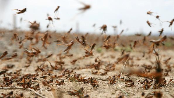 Край выделит 30 миллионов рублей аграриям на борьбу с саранчей